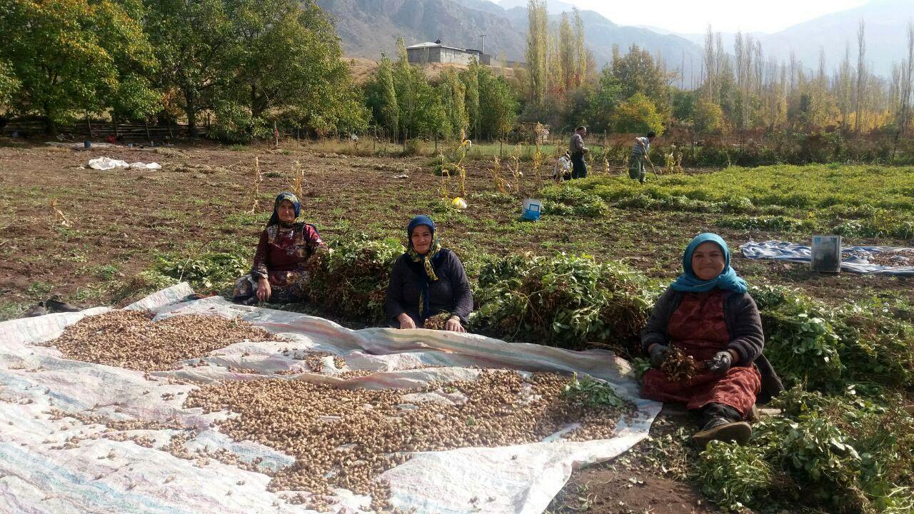 امکان فراوری محصول بادام زمینی در خلخال فراهم شد