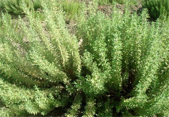 گونه های گیاهی ایران در خطر انقراض قرار دارند