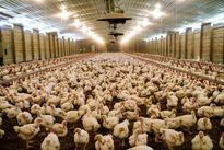 خوراندن تریاک به مرغها صحت دارد؟