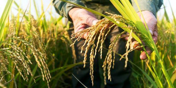 مجوز صادرات شلتوک برنج خوزستان صادر شد