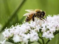 درمان سرطان سینه با نیش زنبور عسل