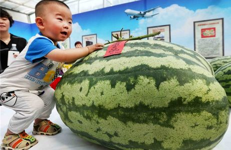هندوانه 80 کیلویی +عکس