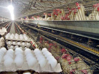 هر شانه تخممرغ در مرغداریها 15هزار تومان است