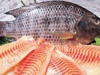 با ایجاد ۱۰مرکز پرورش ماهی تیلاپیا در بافق یزد موافقت شد/ واردات سالانه ۲۰میلیون دلار ماهی تیلاپیا/ توسعه پرورش تیلاپیا مانعی برای ماهی قزلآلا نیست
