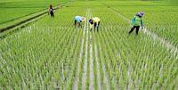 شاخص مکانیزاسیون زراعت برنج کشور به ۸۰درصد رسید