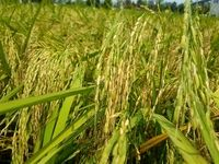 صادرات برنج هند متوقف شد