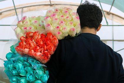 برداشت گل رز در سبزه وار +تصاویر