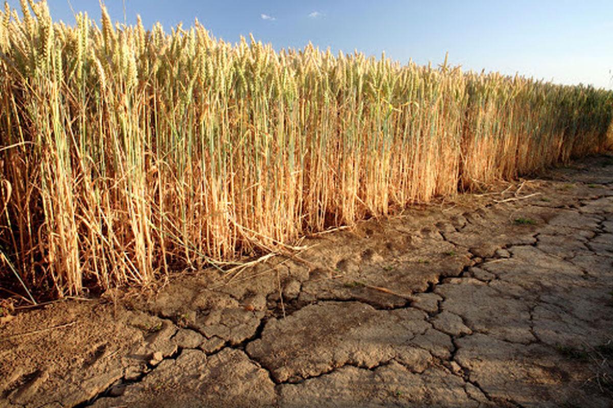 تکلیف کشت برنج با وجود خشکسالی چیست؟