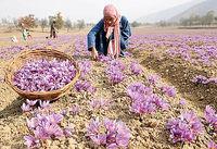 پرونده قاچاق زعفران با حذف تعرفه صادرات بسته میشود
