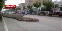 رژه ۵ هزار اردک در چین +فیلم