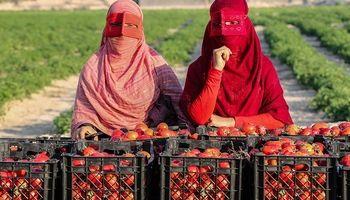 برداشت گوجه فرنگی در مزارع جنوب کشور +عکس
