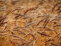 بحران خشکسالی دامنگیر بازار جهانی گندم شد