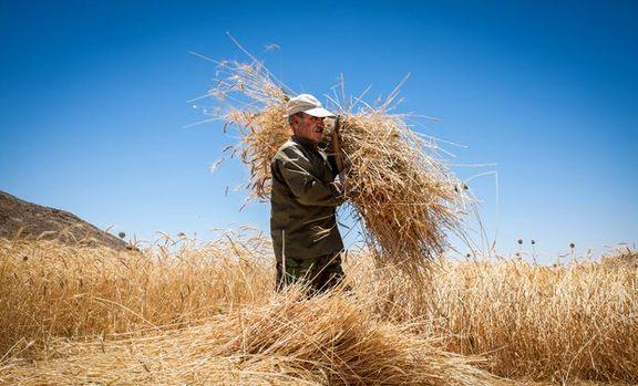 معاون وزیر کشاورزی: به خاطر خوداتکایی گندم زیر سوالیم