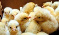 ماجرای تخم مرغ های جوجه شده در آفتاب!