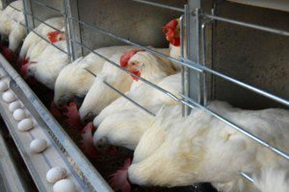رشد ۲۹درصدی مرغ تخمگذار در سال۹۸