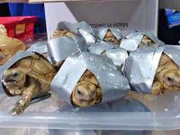 کشف ۱۵۰۰لاکپشت چسبخورده در چهار چمدان مشکوک
