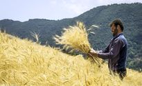 کشاورزان به فروش گندم به دامداران و مرغداران روی آوردند