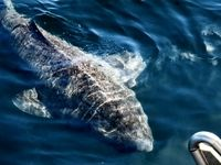 کشف موجود عجیب در اقیانوس آتلانتیک +عکس