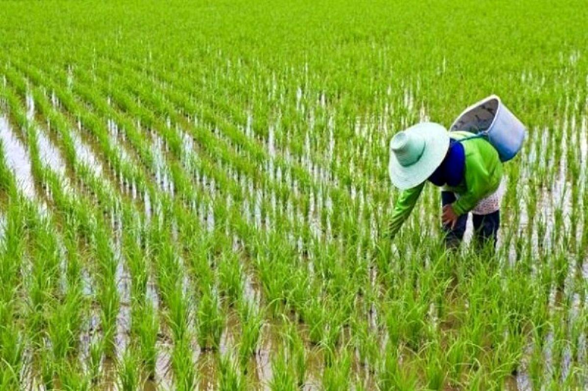 حد مجاز آرسنیک در برنج و کادمیوم در گندم تصویب شد