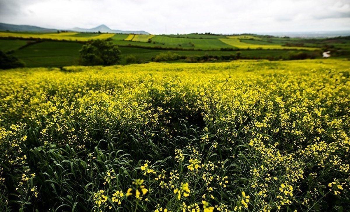 گیاهی که ارزش طلا را پیدا کرد!