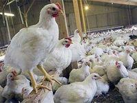 برای تنظیم بازار مرغ در کشور هیچ برنامهای وجود ندارد
