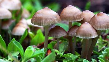 قارچها جایگزین قرصهای ضد افسردگی میشوند