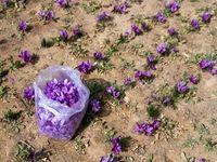 افزایش کاذب قیمت هر کیلوگرم زعفران به ۶میلیون و ۳۰۰ هزار تومان / قیمت جهانی ۱۰۰۰ تا ۱۲۰۰دلار