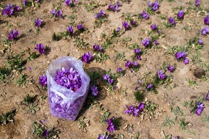 برداشت گلی که ۳هزار سال قدمت دارد +عکس