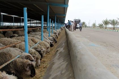 تصاویر ۵۰هزار گوسفند وارد شده به کشور