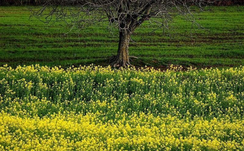 مزارع کلزا در مازندران