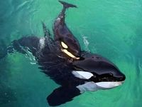 دانشمندان به نهنگ حرف زدن یاد دادند!