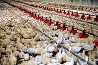شرکت پشتیبانی امور دام کشور عوام فریبی میکند/ میزان توزیع نهادههای دامی دولتی 0.1درصد از نیاز مرغداران!