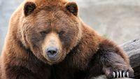 حمله خرس به یک کودک ۱۰ ساله +عکس