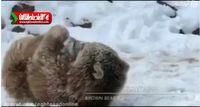 ذوق توله خرس قهوهای از دیدن برف +فیلم