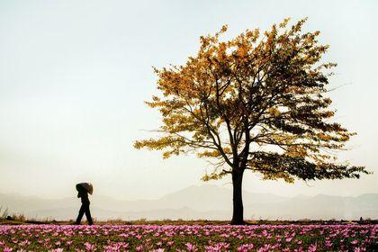 آیا برداشت زعفران را دیدهاید؟ +تصاویر