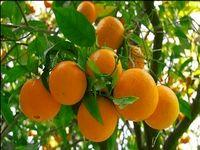قیمت پرتقال جنوب تغییر نکرد