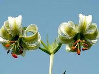 تصاویری زیبا از سوسن چلچراغ