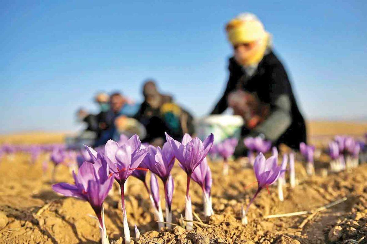 پرداخت ۱۰۰۰میلیارد تومان وام برای توسعه صادرات زعفران