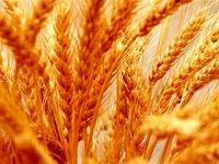 ۵۰درصد گندم ۵استان خریداری شد