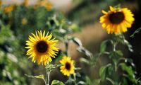 مزرعه آفتابگردان +عکس