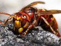 مرگ یک کودک ۶ساله بر اثر نیش زنبور