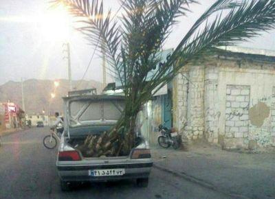 حمل درخت نخل با پژو +عکس