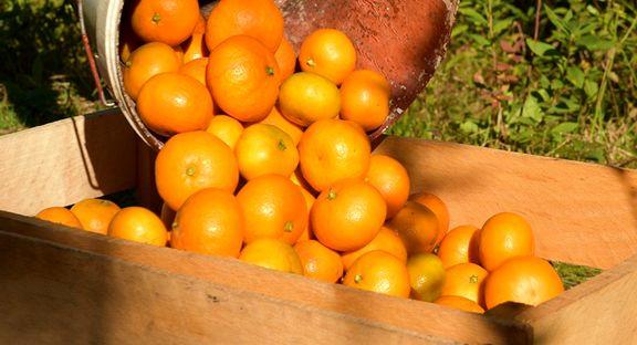 خوردن چند عدد نارنگی مفید است؟