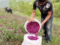 خبر خوش برای کشاورزانی که گیاهان دارویی میکارند