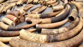 کشف محموله بزرگ قاچاق عاج فیل در سنگاپور +فیلم