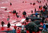 جاری شدن دریای خون در پی کشتار نهنگ های جزایر فارو +فیلم