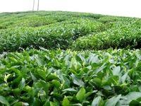 تولید ۱۷هزار تن چای در کشور