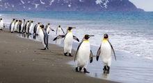 پنگوئن، پرندهای شگفتانگیز! +تصاویر