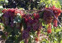 افزایش ۳۰درصدی تولید محصولات باغی