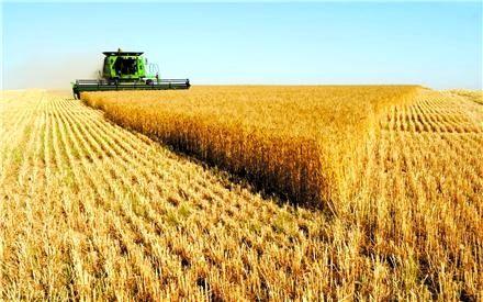 کاهش 18درصدی خرید گندم در نیمه اول سال